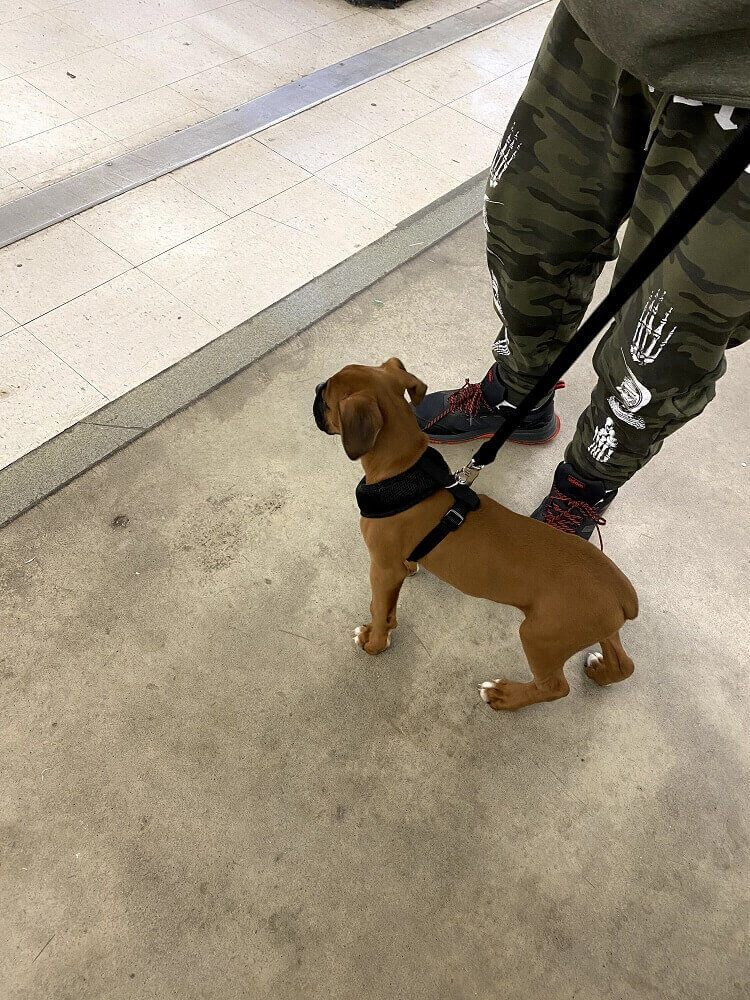 A boxer puppy in training
