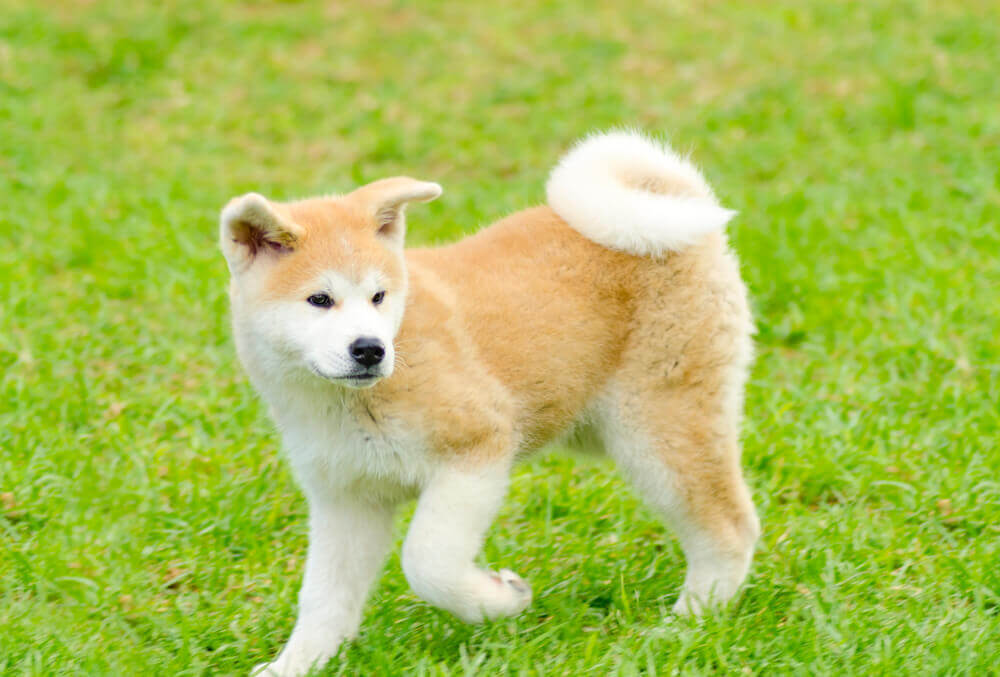 A cute Akita Inu puppy playing in the grass