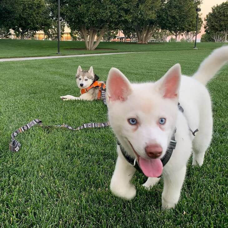 A happy Alaskan Klee Kai puppy playing in the grass