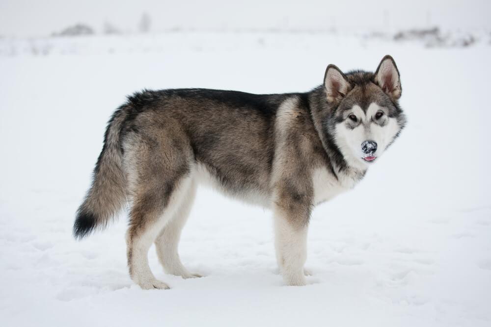 Alaskan Malamute dog in the snow like huskies