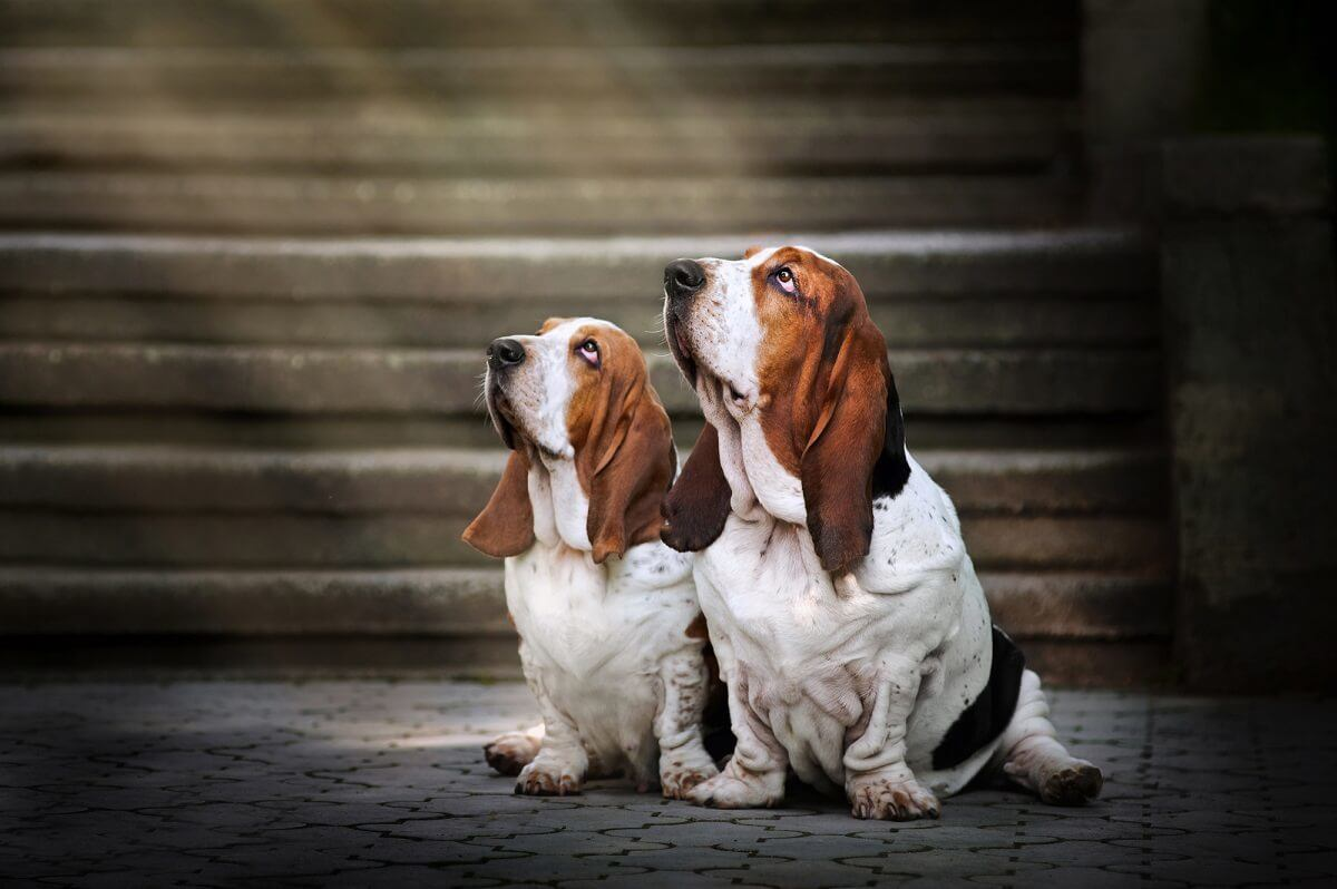 Small Basset Hound puppy and adult dog with prominent big ears