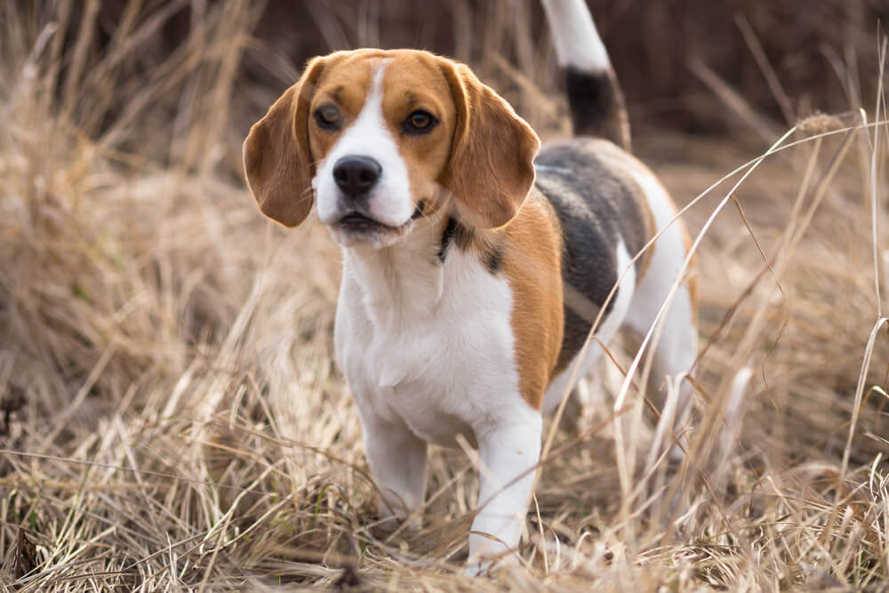 A beautiful beagle dog playing outdoors
