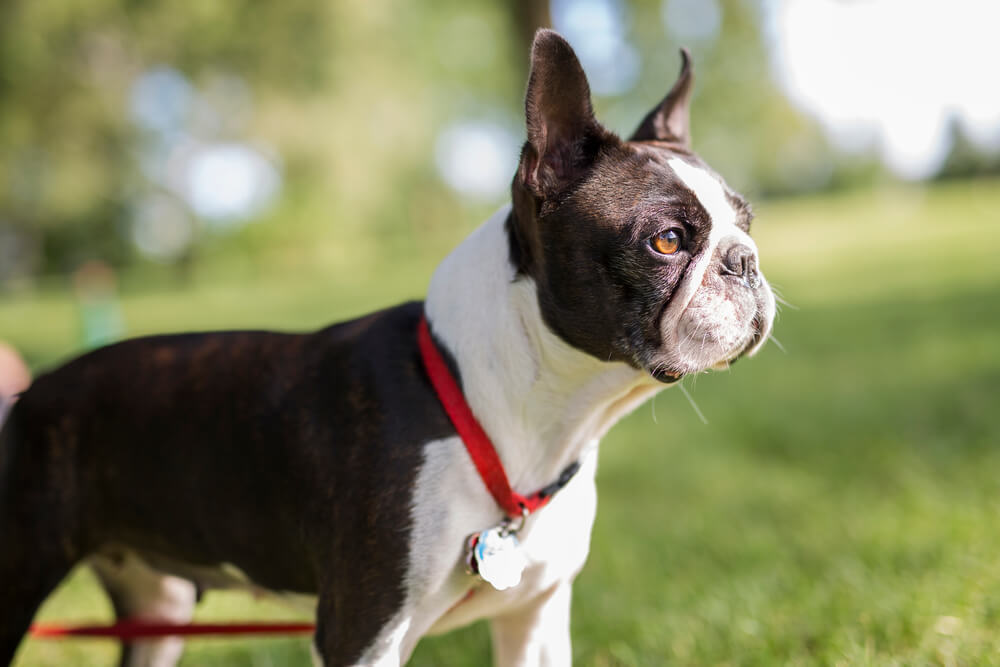 Adorable Black and White Boston Terrier leash walking in the park wearing a red harness