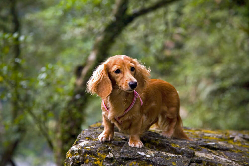 A beautiful long haired dachshund wearing a pink harness in the great outdoors