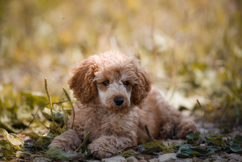 A red and white toy poodle sitting on grass