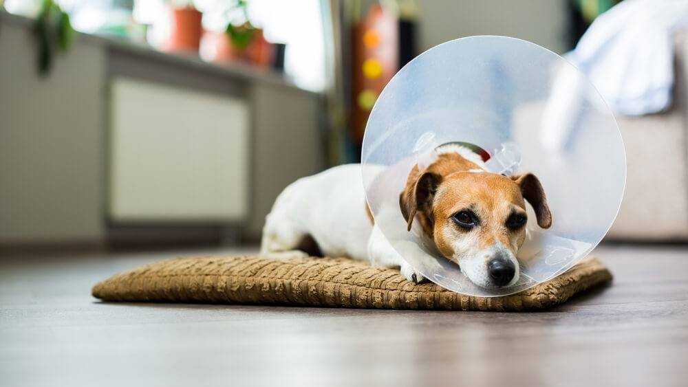 A Jack Russell dog sitting on his bed wearing an Elizabethan collar after surgery