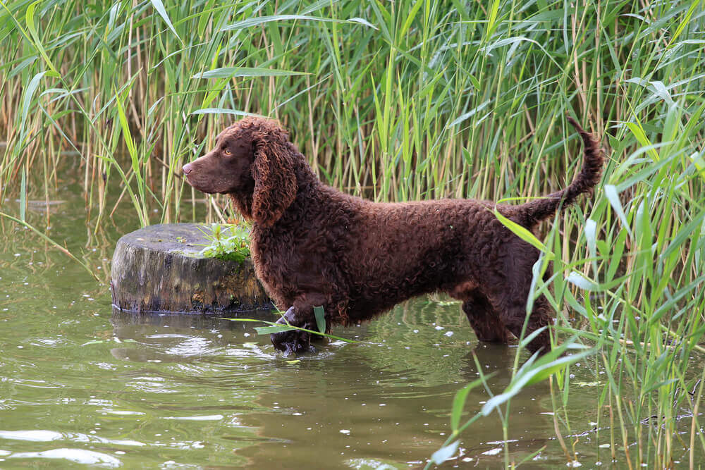 Brown American water spaniel in a river hunting