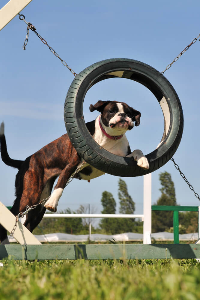 An adult Boxer dog in agility training jumping through a loop.