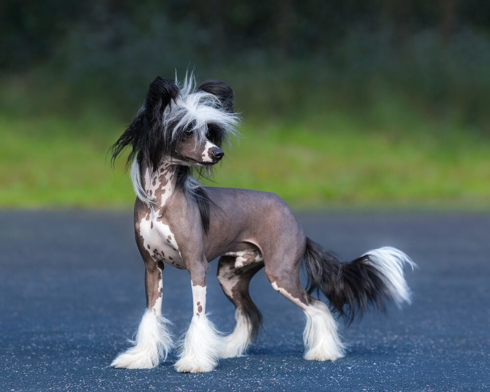 A black and white male Chinese Crested dog breed outdoors