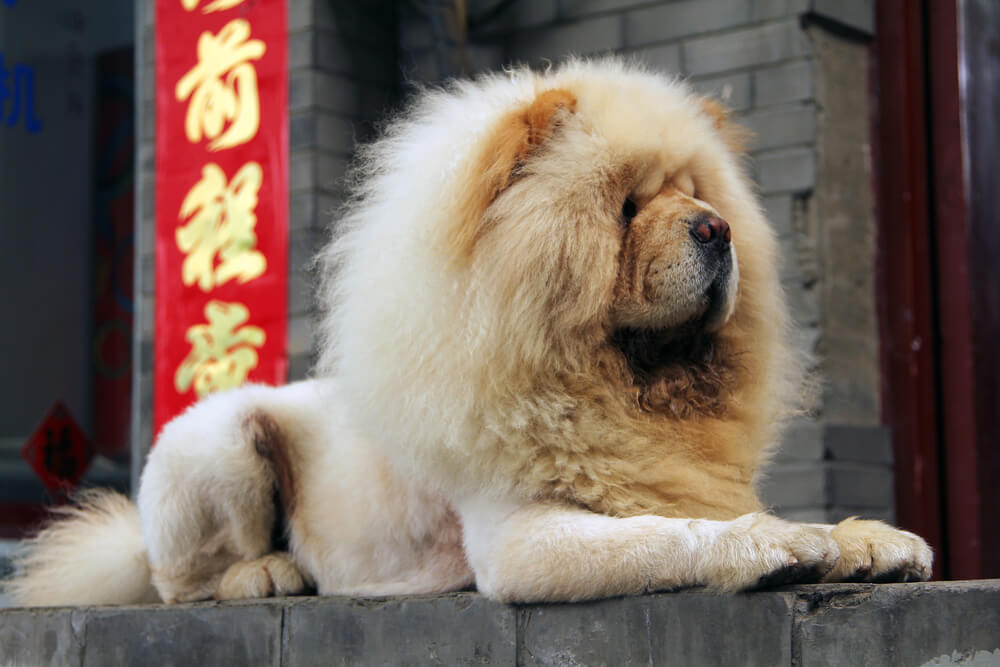 A white fluffy Chow Chow dog breed sitting perched and similar to a Lion