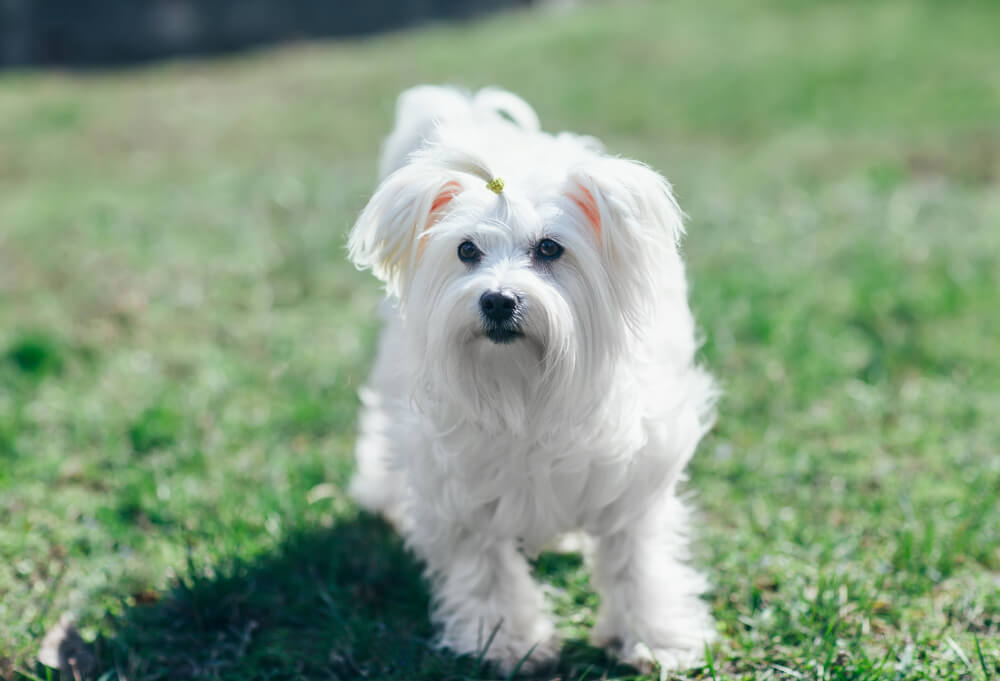 A white fluffy Coton De Tulear playing in the grass