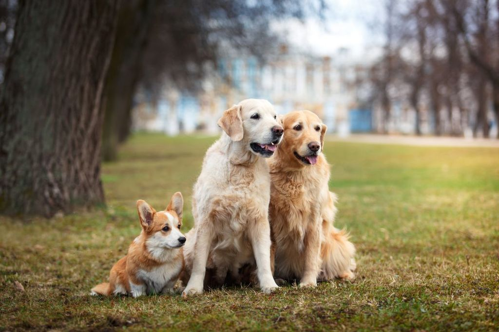 Dog breed Welsh Corgi Pembroke and Golden retriever together in the park getting along with one another