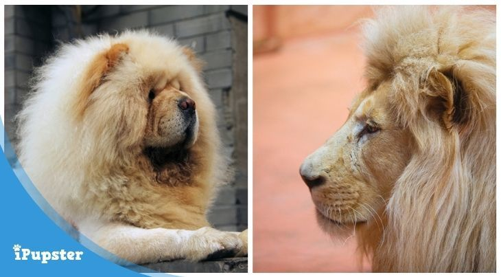 A Chow Chow and An African Lion Similar In Look