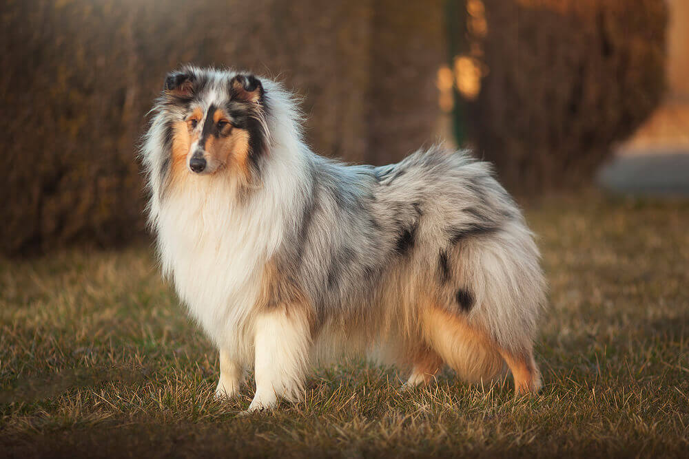 Beautiful red fluffy Collie dog