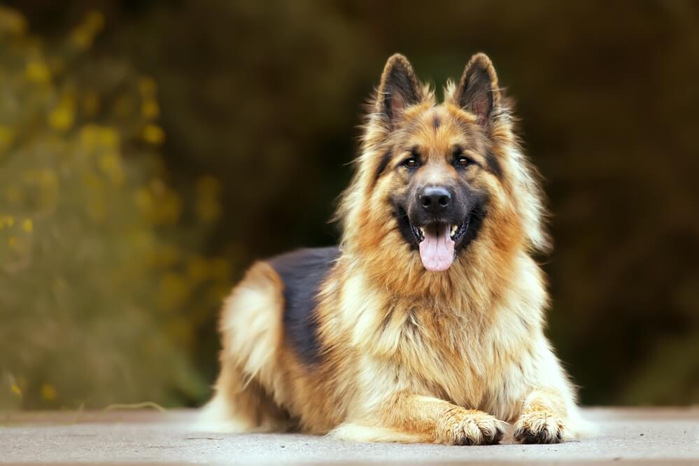 An adorable long-haired german shepherd outdoors
