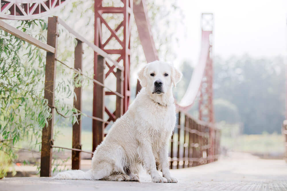 A beautiful white and wet Golden Retriever in the park