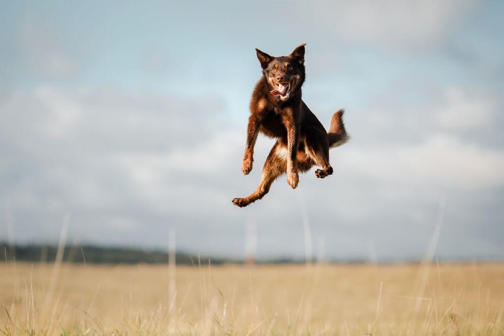 A high jumping Kelpie dog