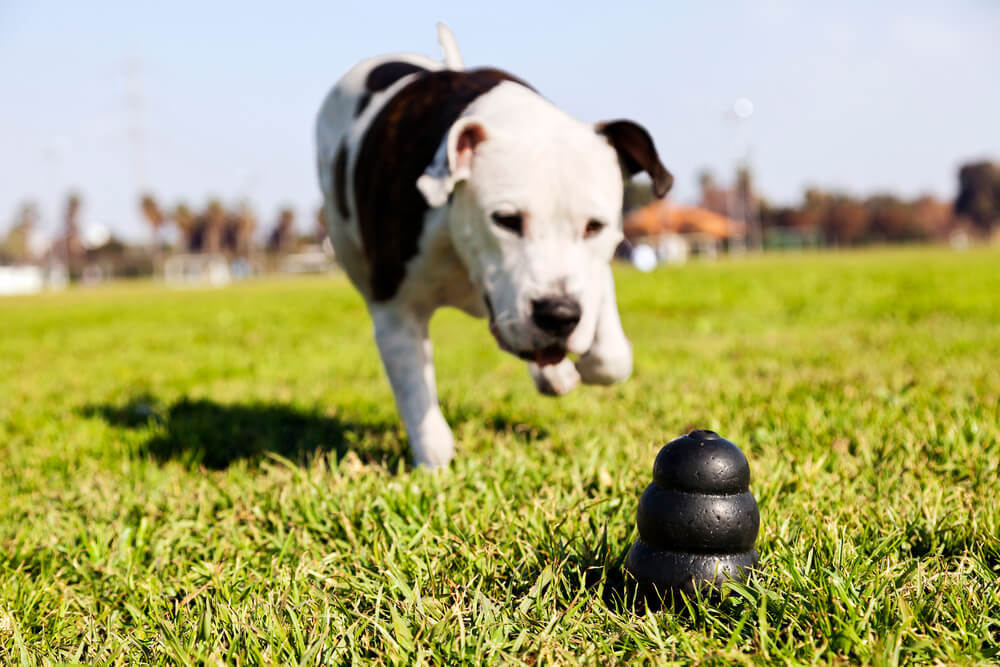 Pitbull Dog Running After a Kong Wobbler Chew Toy at the Park