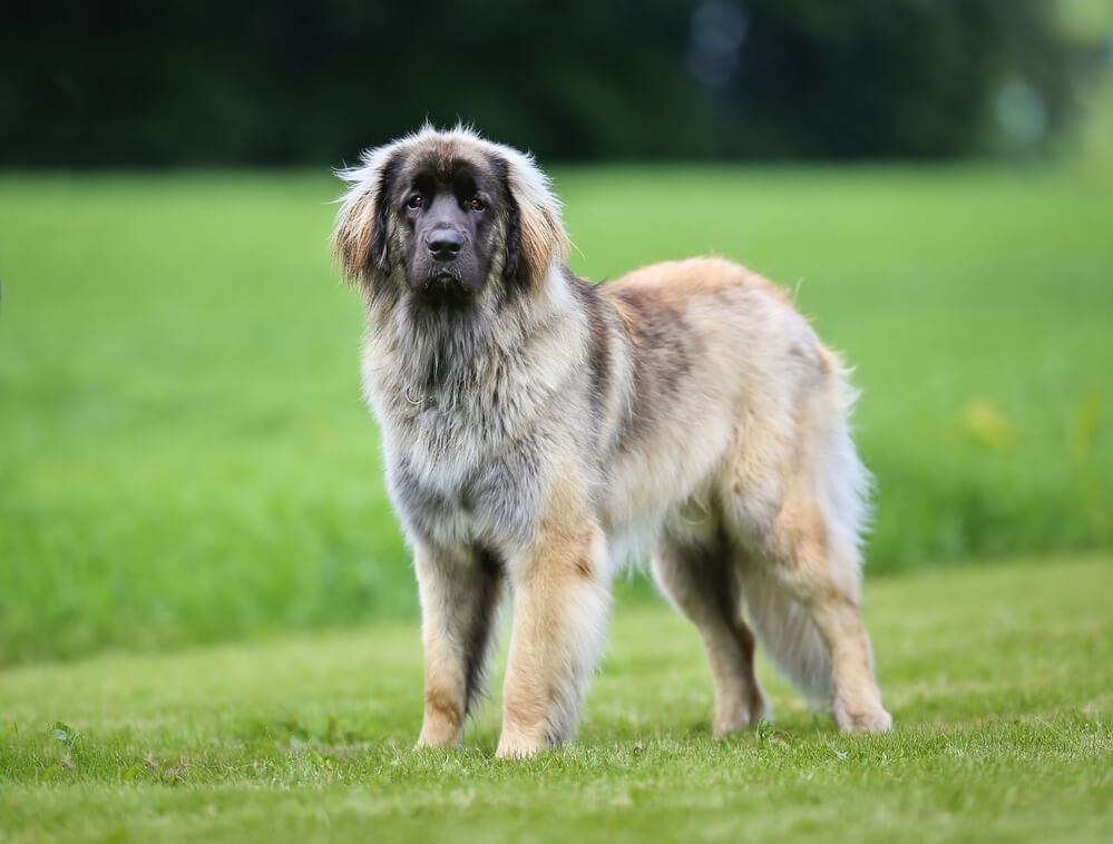 A purebred Leonberger adult dog relaxing on the grass