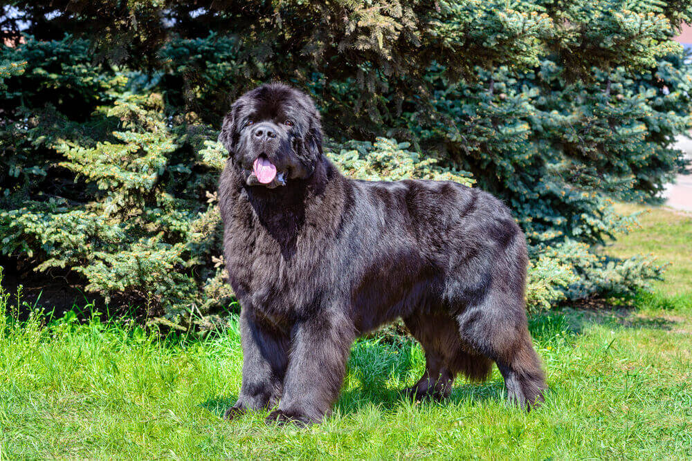 A big, fluffy black Newfoundland dog in the park outdoors