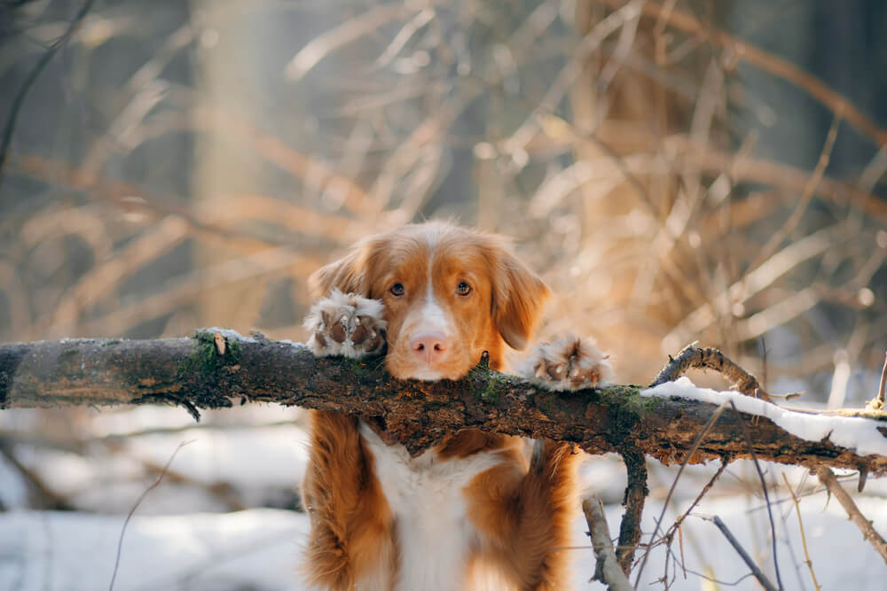 Dog in a snowy forest. Nova Scotia Duck Retriever put its webbed dog paws on a log