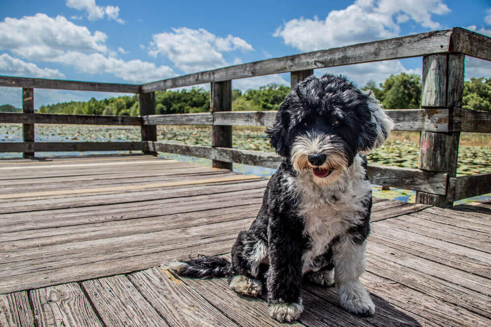 A black and white Portuguese Water Dog sitting on the boardwalk