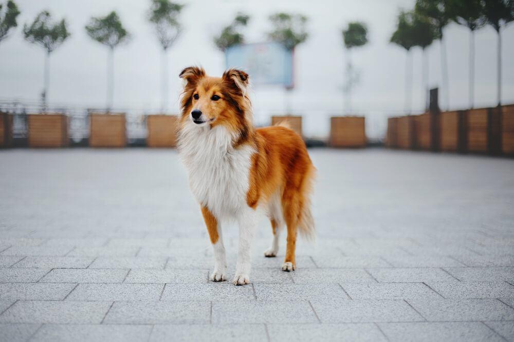 A Shetland Sheepdog (Sheltie) on a walk