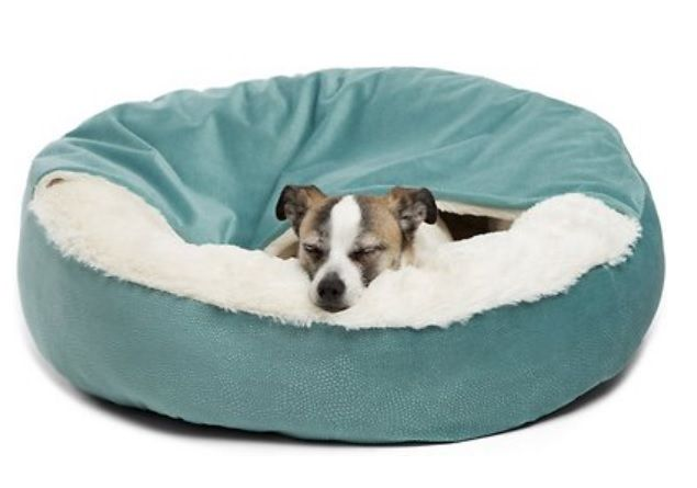 A Jack Russell sleeping in a blue dog bed with a blanket attached