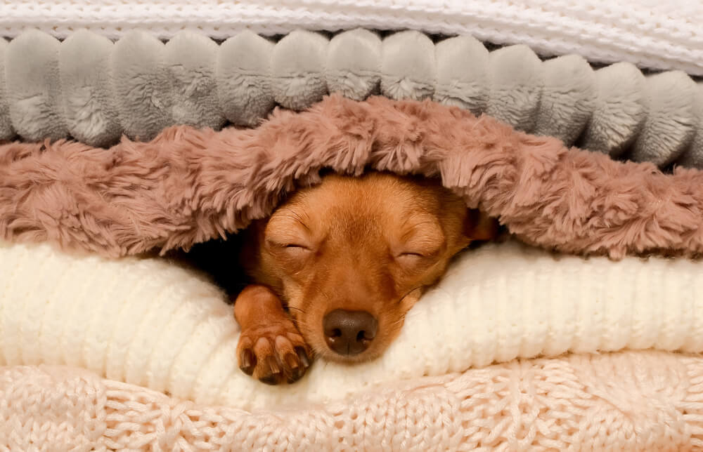 Cute dog peeking out from under the soft warm blanket dog bed
