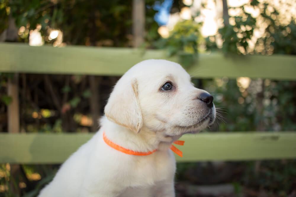 A cute white labrador puppy