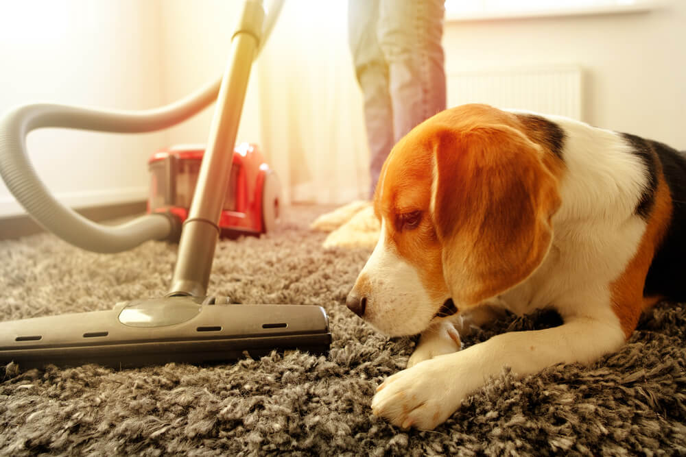 Owner vacuuming a carpet with a beagle dog laying down.