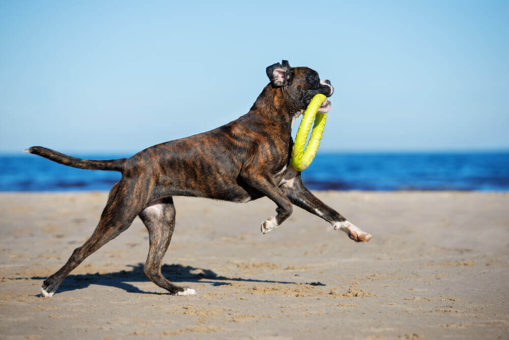 German boxer dog playing on the beach with a frisbee