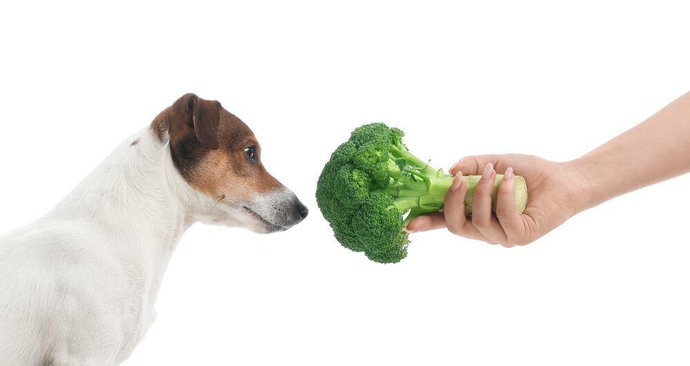Dog fed green raw vegetables - broccoli