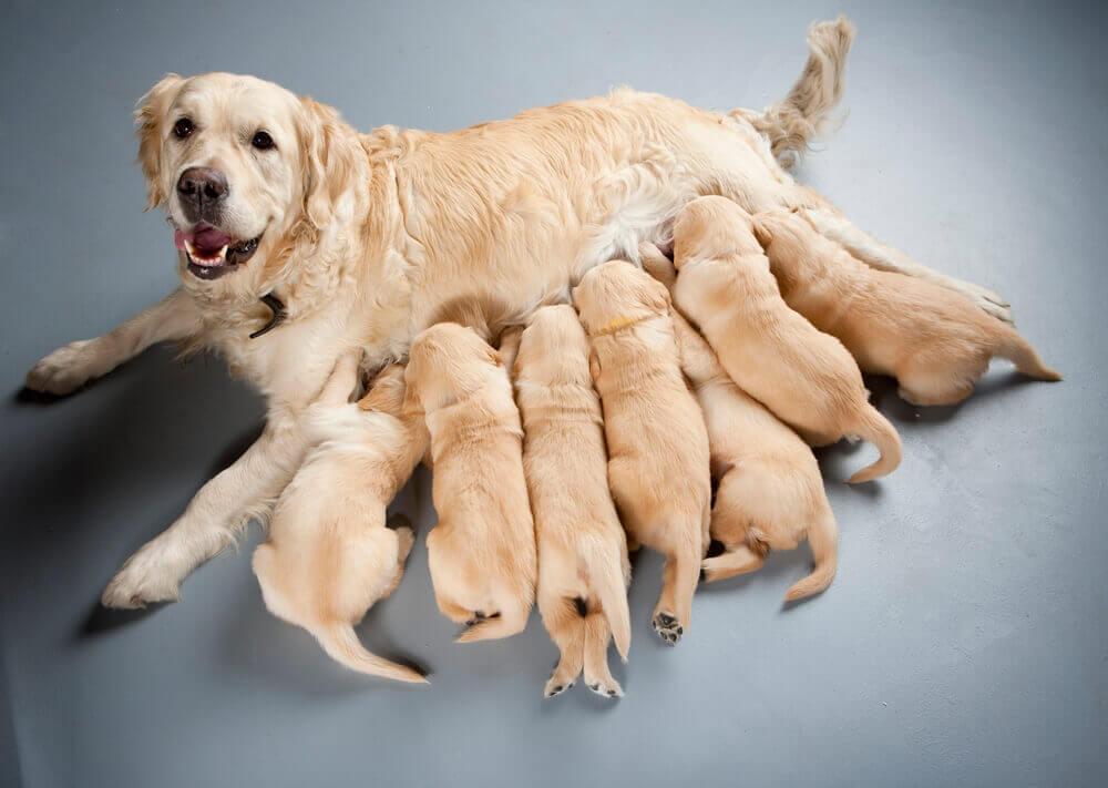 A Golden Retriever nursing her puppies