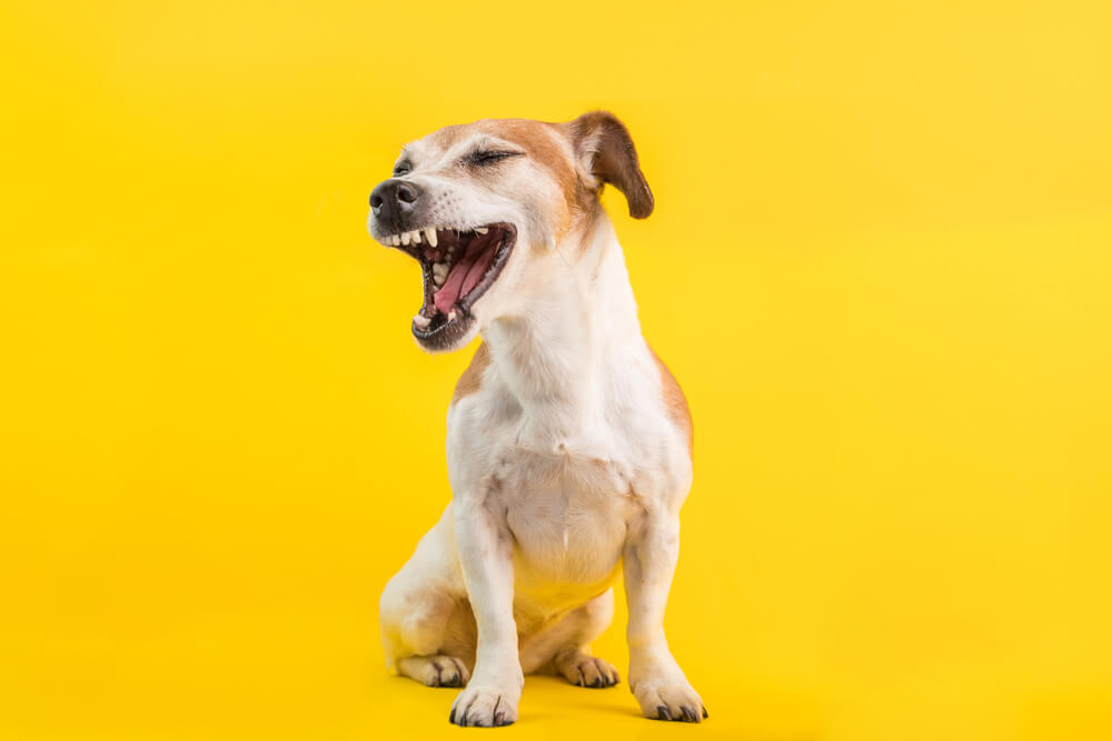 A jack russell sneezing