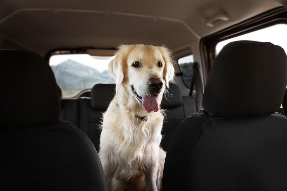 Labrador dog sitting in car seat