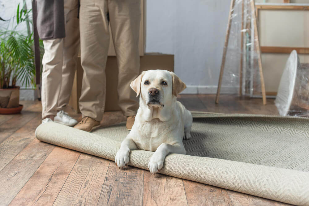 A sad labrador sitting on an unrolled carpet moving house