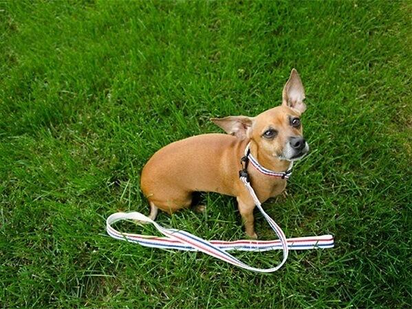 Dog wearing a homemade dog collar and leash set