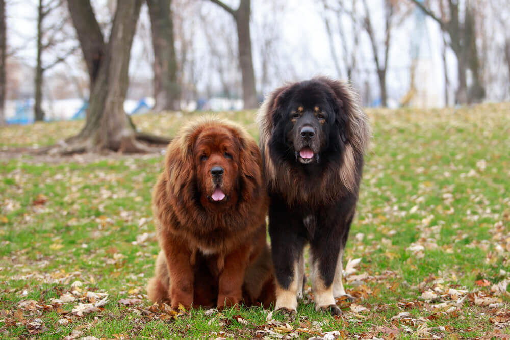 Two flully Tibetan mastiff dogs resting on gras, one red and one black coated