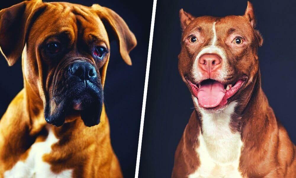 Boxer Dog vs Pitbull Dog