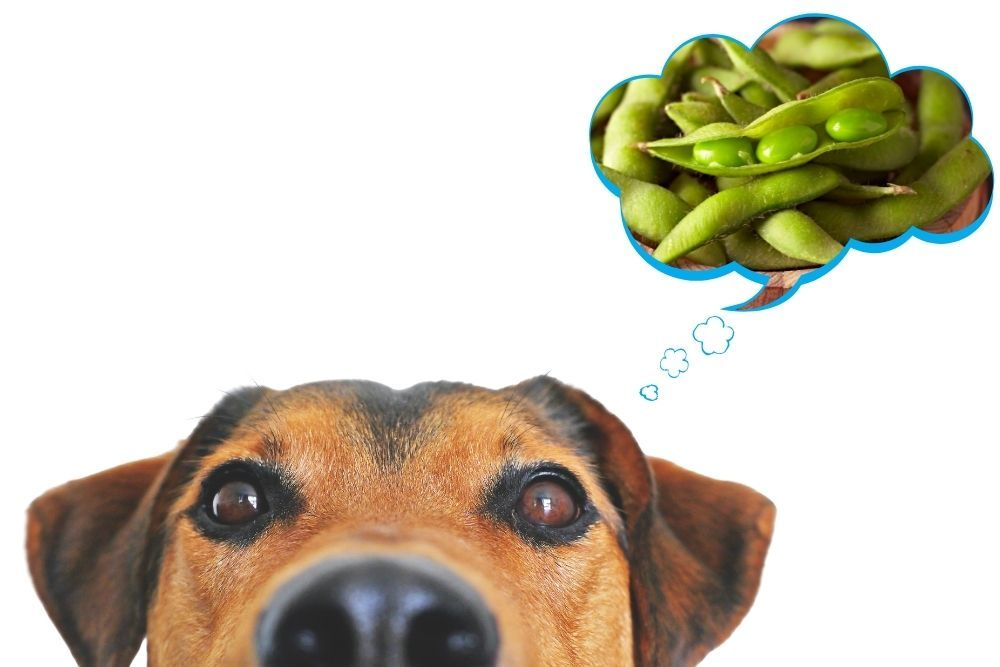 Can Dogs Have Edamame Beans