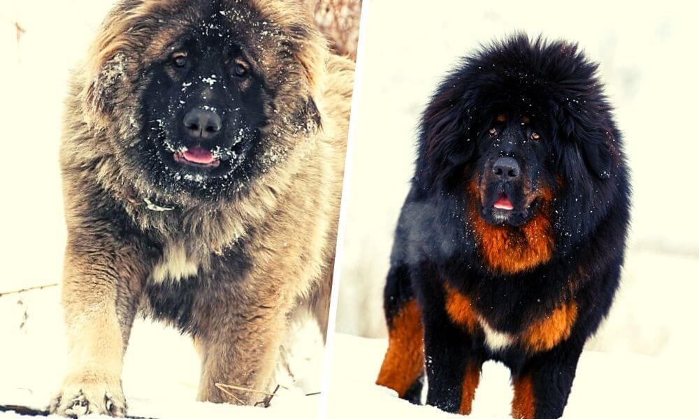 Caucasian Shepherd Dogs vs Tibetan Dog Side by Side