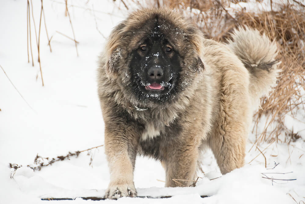 A fluffy dark face and light brown coated Caucasian Sheepdog