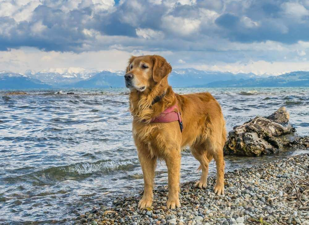 Golden Retriever at the beach.
