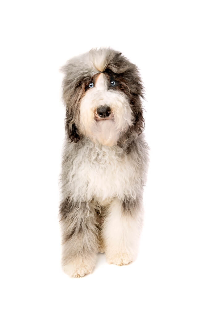 Black and white haired Sheepadoodle