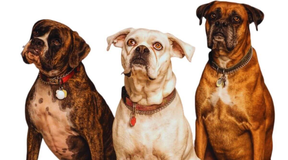 Boxer Dogs