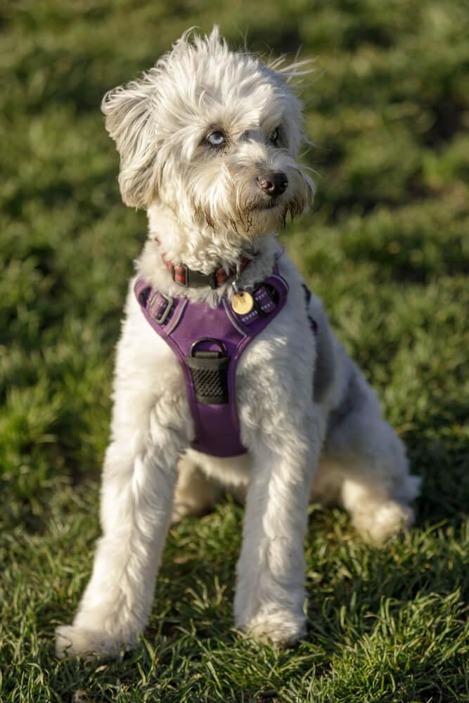 A cute Miniature Australian Shepherd Poodle Mix female puppy off-leash dog park in Northern California