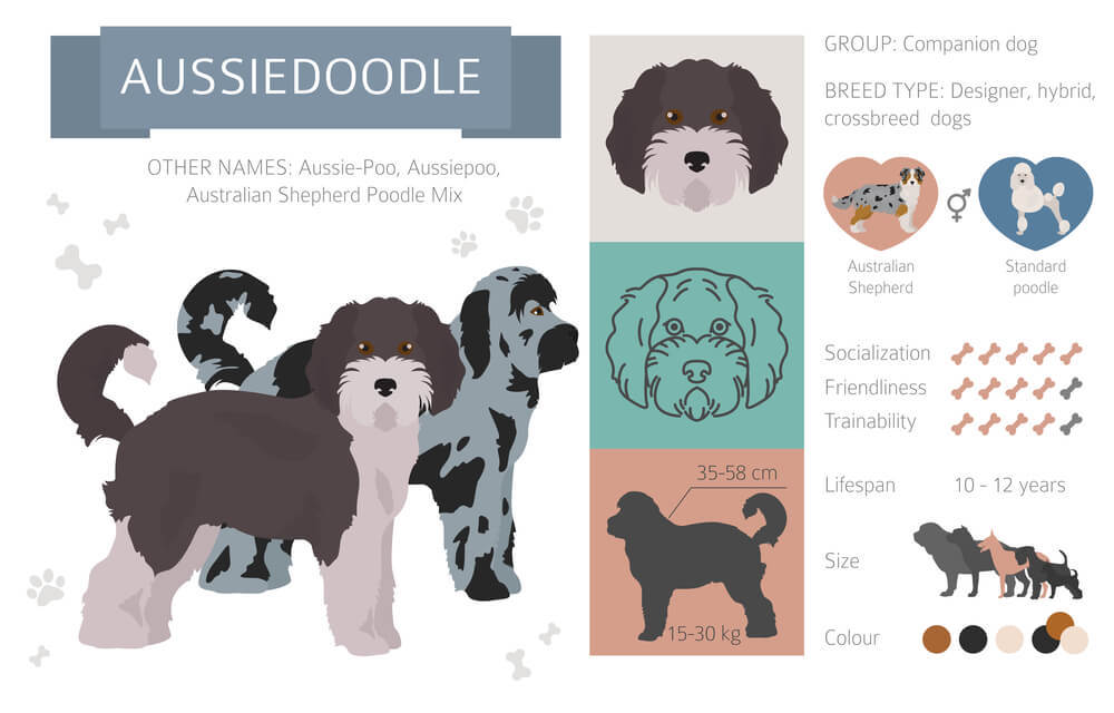 Character Traits and Image of Aussie Doodle Hybrid mix