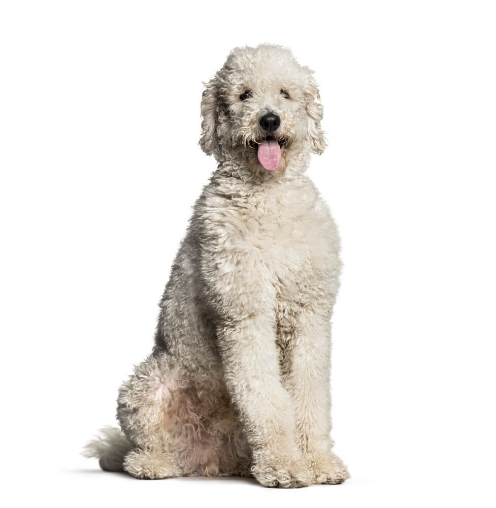 A 1 year old white coat Labrdoodle